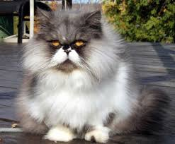 Persian Cat Meme - 22 reasons why you ll want persian cats on your apocalypse team