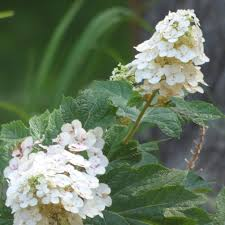 growing oakleaf hydrangeas u2013 tips on hydrangea care and maintenance