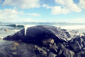 humpback whale washes up near ucluelet parksville qualicum beach