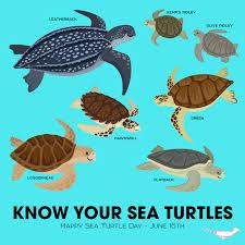 about sea turtles sea turtle inc