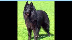 belgian sheepdog tervuren groenendael belgian shepherd dog video learning wizscience