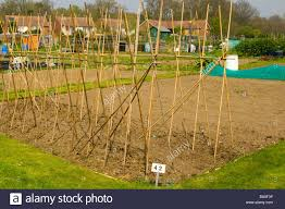 cane trellis for climbing plants and vegetables on an allotment