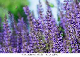 Salvia Flower Salvia Stock Images Royalty Free Images U0026 Vectors Shutterstock