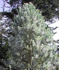 leucadendron argenteum the silver tree
