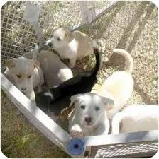 affenpinscher puppies for sale in texas puppies adopted puppy dallas u0026 fort worth tx siberian husky mix