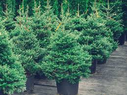 buy christmas tree don t end up with a festivus pole buy your christmas tree early