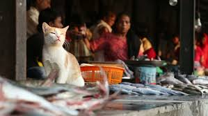 Cats In Small Spaces Video - mumbai india 8 january 2015 cat sitting on a fish stand at the