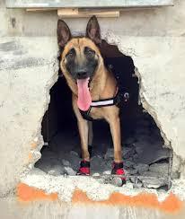 belgian shepherd ear problems mypetsmyhero social competition your pet your hero animalcare