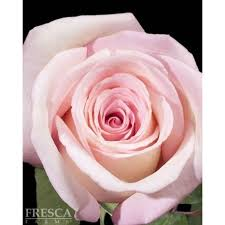 buy roses roses 100 stems florasourcedirect buy the box