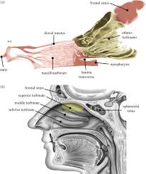 Dog Body Parts Anatomy The Fluid Dynamics Of Canine Olfaction Unique Nasal Airflow