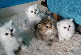 beautiful kittens most beautiful purebred persian kittens for sale cape town