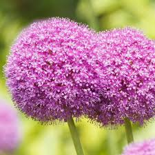 allium flowers allium bulbs for sale easy to grow bulbs