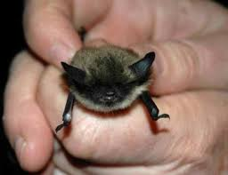 small bat 38 best bats images on nature animals and baby bats