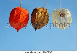 lantern flower physalis alkekengi drying lantern flower seed casing on