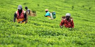 Seeking Tea Ktda Factories Reduce Energy Consumption In Efficiency Drive