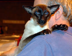 cat 2006 in the united kingdom uk siamese