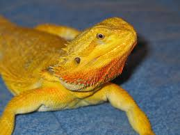 bearded dragon community yellow dragons