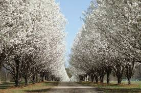bradford pear trees facts pruning more