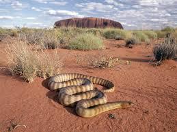 australian desert plants google search desert pinterest