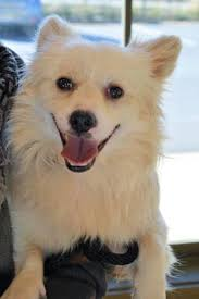 american eskimo dog michigan glenburn me american eskimo dog mix meet sy a dog for
