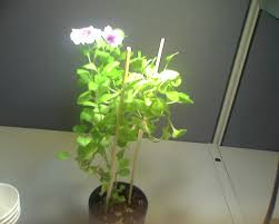 the story of a morning glory in a pot in a office cubicle pictur