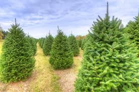 tips for choosing a living christmas tree