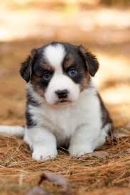australian shepherd new hampshire white raven cardigan welsh corgis our dogs