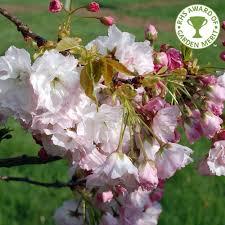 prunus shogetsu buy japanese cherry blushing cherry tree