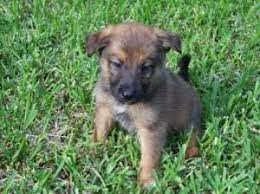 belgian shepherd rescue south africa belgian malinois puppies for sale canberra free classifieds in