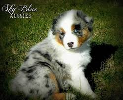australian shepherd breeders near me sky blue aussies aussie puppies for sale