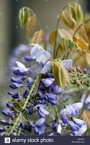 wisteria flowers stock photos u0026 wisteria flowers stock images alamy