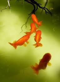 68 best goldfish images on goldfish aquarium fish and