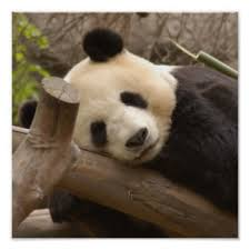 panda bear art u0026 framed artwork zazzle