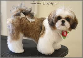 shih tzu haircuts shih tzu haircuts haircut styles hair style and dog