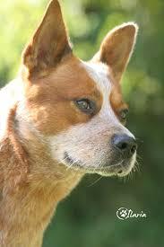 incrocio border collie x australian shepherd ti presento l u0027australian cattle dog ti presento il cane