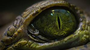 close up of a crocodile u0027s eye rebrn com