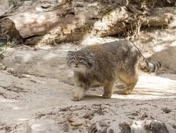 bighorn sheep snow leopard and manul cat how the rare animals of