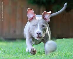 american pitbull terrier blue best 10 pitbull american ideas on pinterest pitbull mezcla de