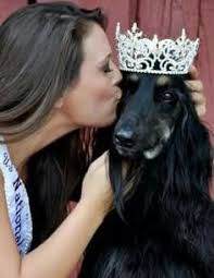afghan hound therapy dog dog of the month for december afghan hound is the oldest