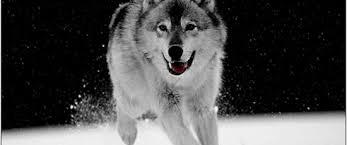 imagenes de fondo de pantalla lobos fondos pantalla blanco negro lobo lugares pinterest