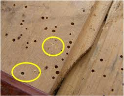 Powder Post Beetles In Hardwood Floors - guide on identifying woodworm and making a judgement on activity