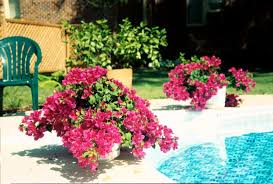 bougainvilleas add a touch of the tropics mississippi state