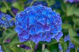 hydrangea flowers hydrangea how to plant grow and care for hydrangea shrubs the