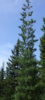 white pine trees western white pine pinus monticola plants pnw