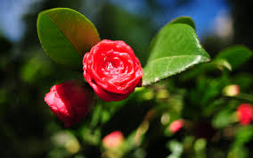 Beautiful Flowers Beautiful Flower Photos Beautiful Flower Images Rose 4k Image 7