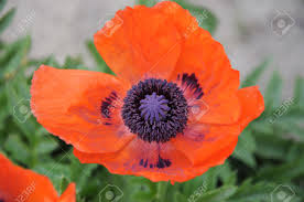 plant native oriental poppy is a perennial flowering plant native to the