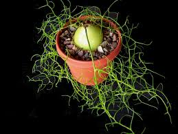 how to grow and care for a climbing onion bowiea volubilis