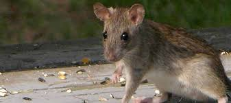 how to get rid of rats in your house abc blog