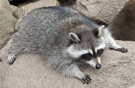 images of raccoons nature guide skunks and raccoons raccoons