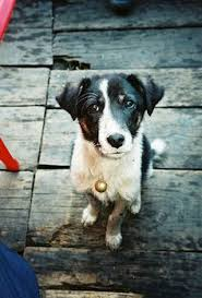 australian shepherd ksl australian shepherd blue heeler cross puppies dogs pets and